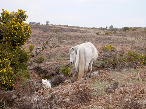 wild white horse watches dog running new forest heathland