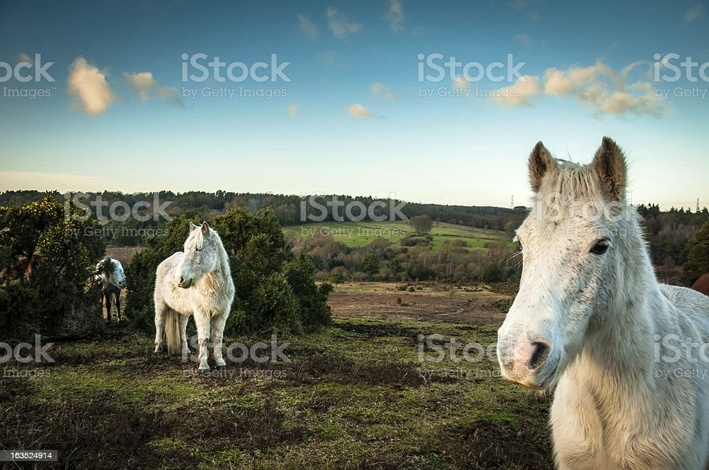 Wild White horses, The New Forest, England stock photo