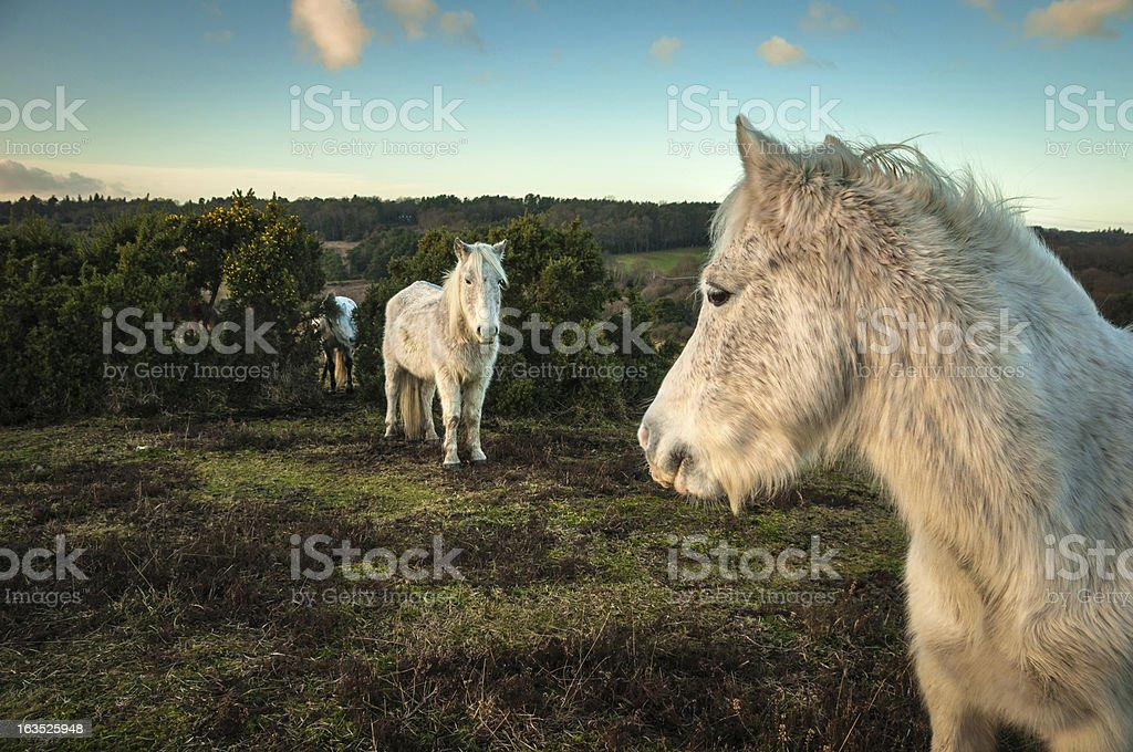 Wild White horses, The New Forest, England royalty-free stock photo