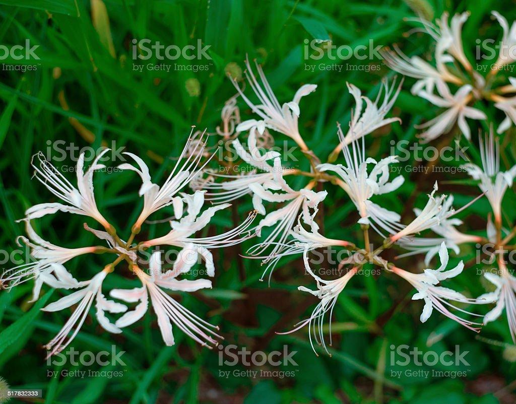Wild White Lycoris stock photo
