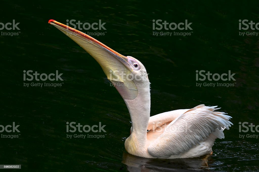 Wild White Pelican Bird royalty-free stock photo
