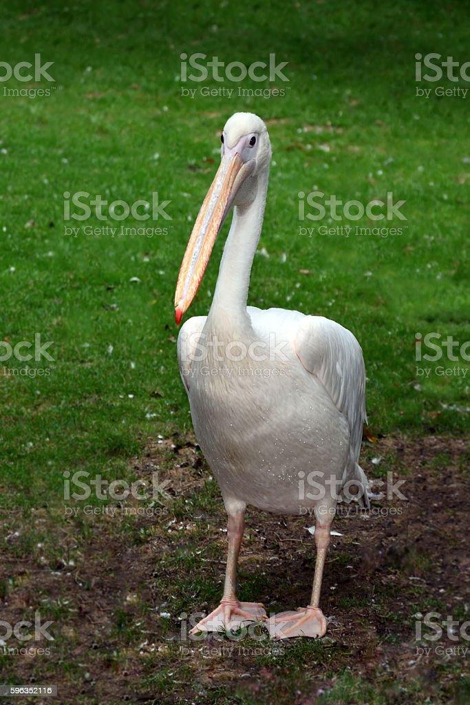 Wild White Pelican Bird royalty-free stock photo