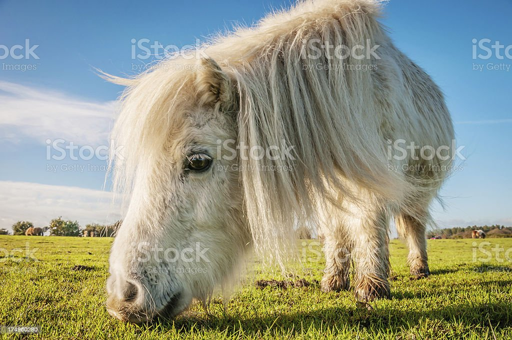 Wild white pony grazing at The New Forest, Hampshire, England royalty-free stock photo
