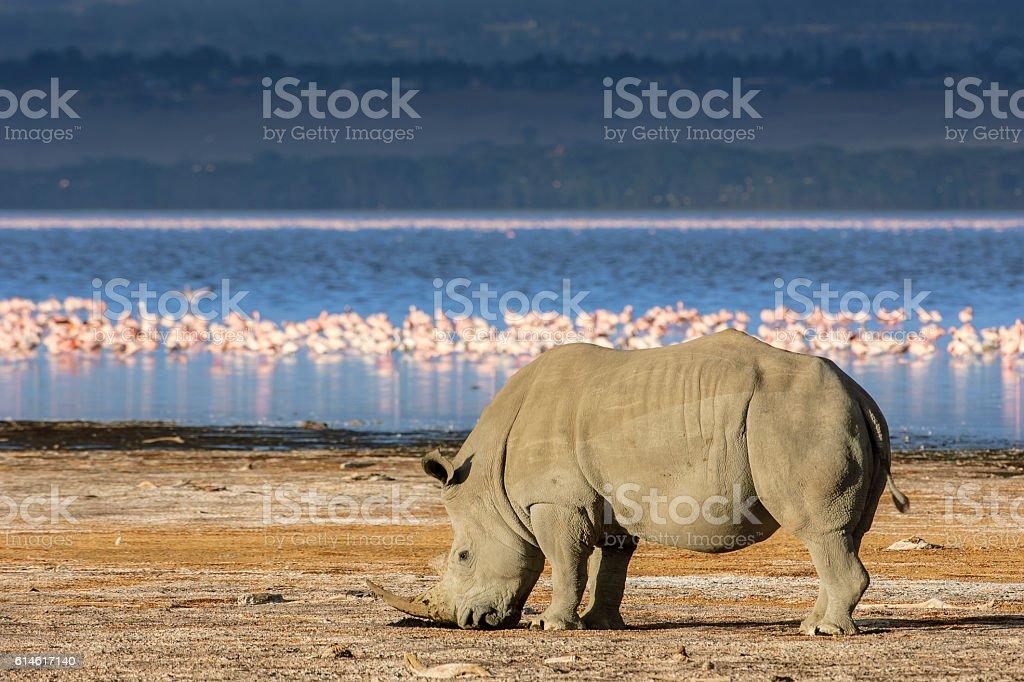 Wild White Rhino and Flamingos on Lakeshore stock photo