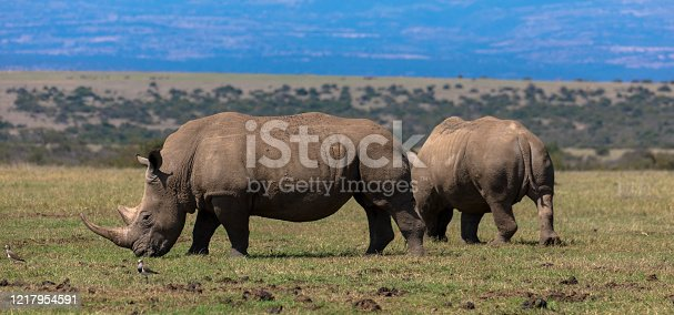 Wild White Rhino in Lake Nakuru National Park in Kenya