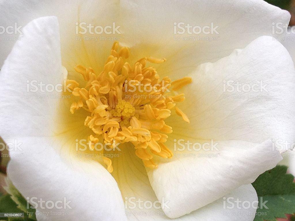Wild White Rugosa Rose royalty-free stock photo