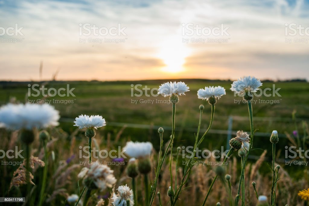 Wild white summer flowers in the evening sun stock photo