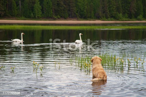 Wild white swans and a dog on the river.