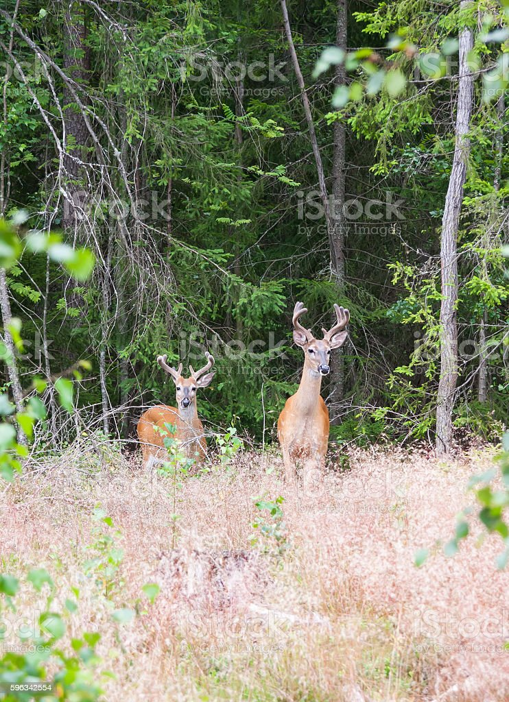 Wild white tailed deer in forest royalty-free stock photo