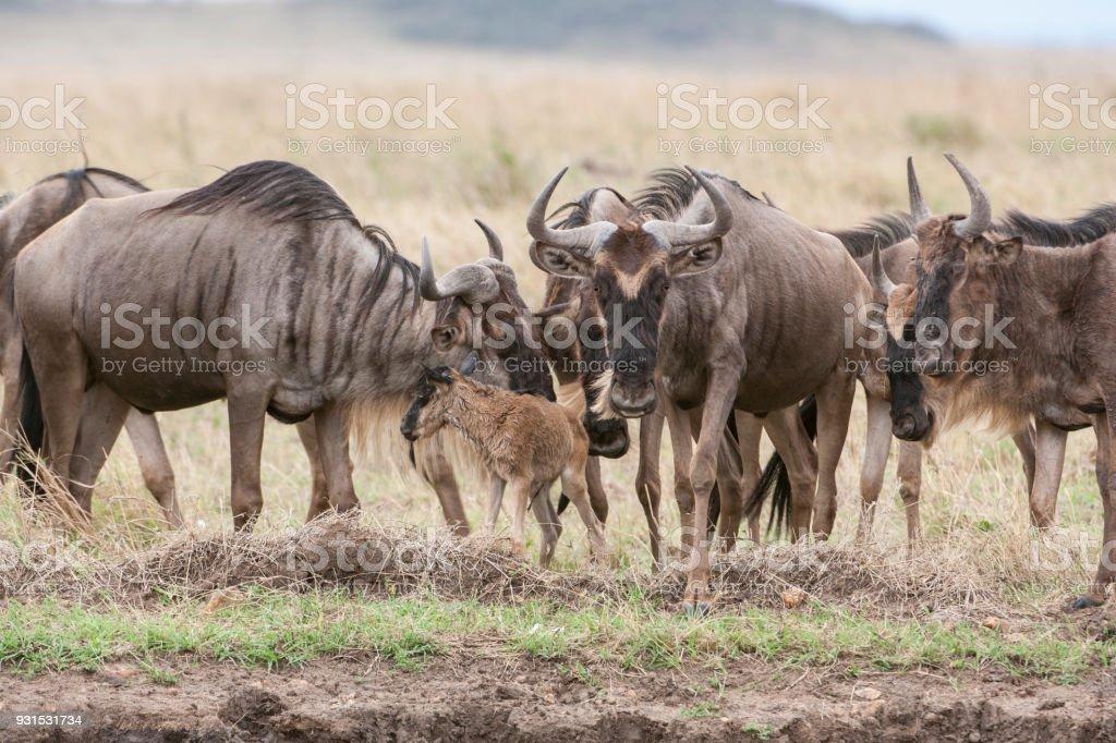 Wild ñu reunidos alrededor de un recién nacido bebé - foto de stock