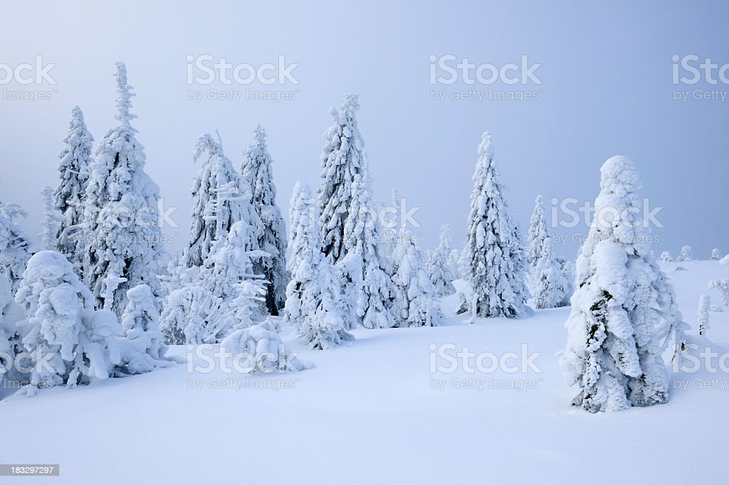 Wild Winter Landscape with Snow Covered Spruce Trees royalty-free stock photo
