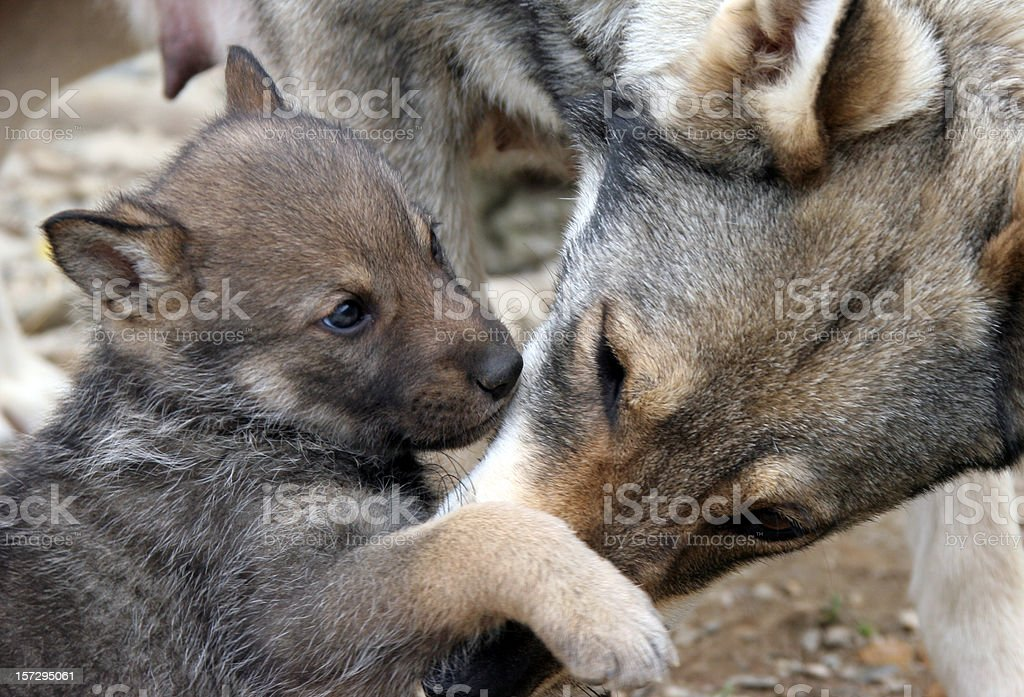 Wild Wolf and her puppies. stock photo