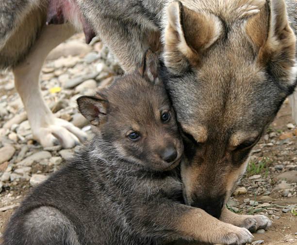 lobo selvagem e as suas crias. - lobo cinzento imagens e fotografias de stock