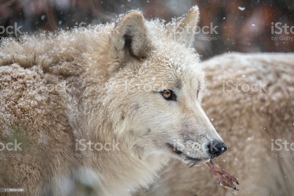 wild wolves animals in natural habitat in winter, close-up view of...
