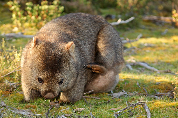 wild wombat on the grass in cradle national park tasmania - cradle mountain stock photos and pictures
