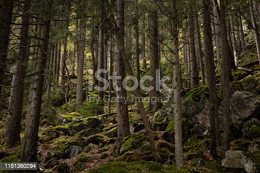 Wild wood in the mountains. Beautiful view inside of pine forest. Tree trunks, mossy rocks. Moss on stones. Schwarzwald, Germany. Black Forest.