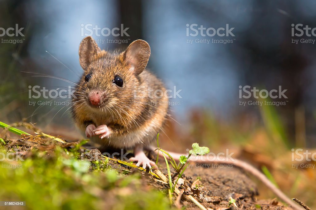 Wild wood mouse stock photo