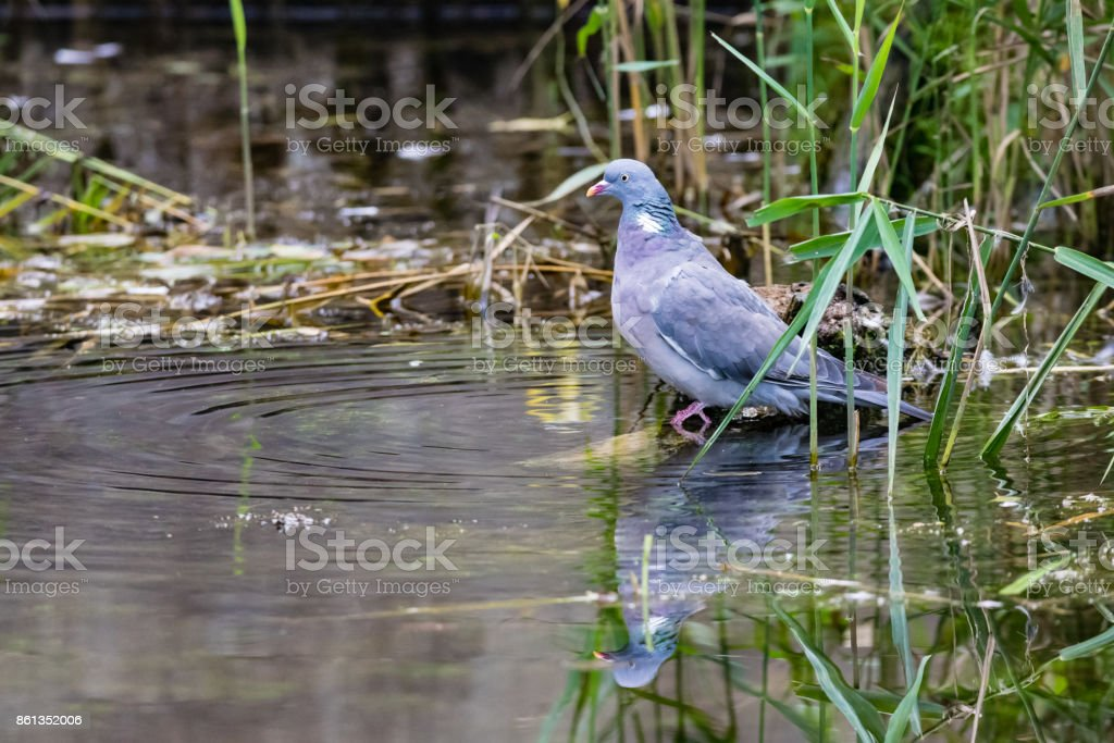Wild wood pigeon in long grass with reflection in pond stock photo