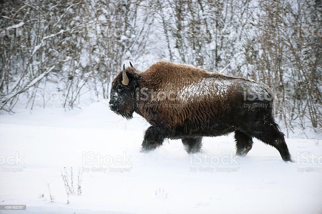 Woodland Bison sauvage dans la neige. - Photo