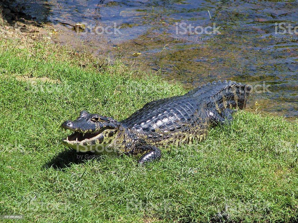 Wild yacare (crocodile / caiman) in a Pantanal river, Brazil stock photo