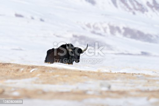 Wild yak, Bos mutus, large bovid native to the Himalayas, winter mountain codition, Tso-Kar lake, Ladakh, India. Yal from Tibetan Plateau, in the snow. Black bull woth horn from Tibet.