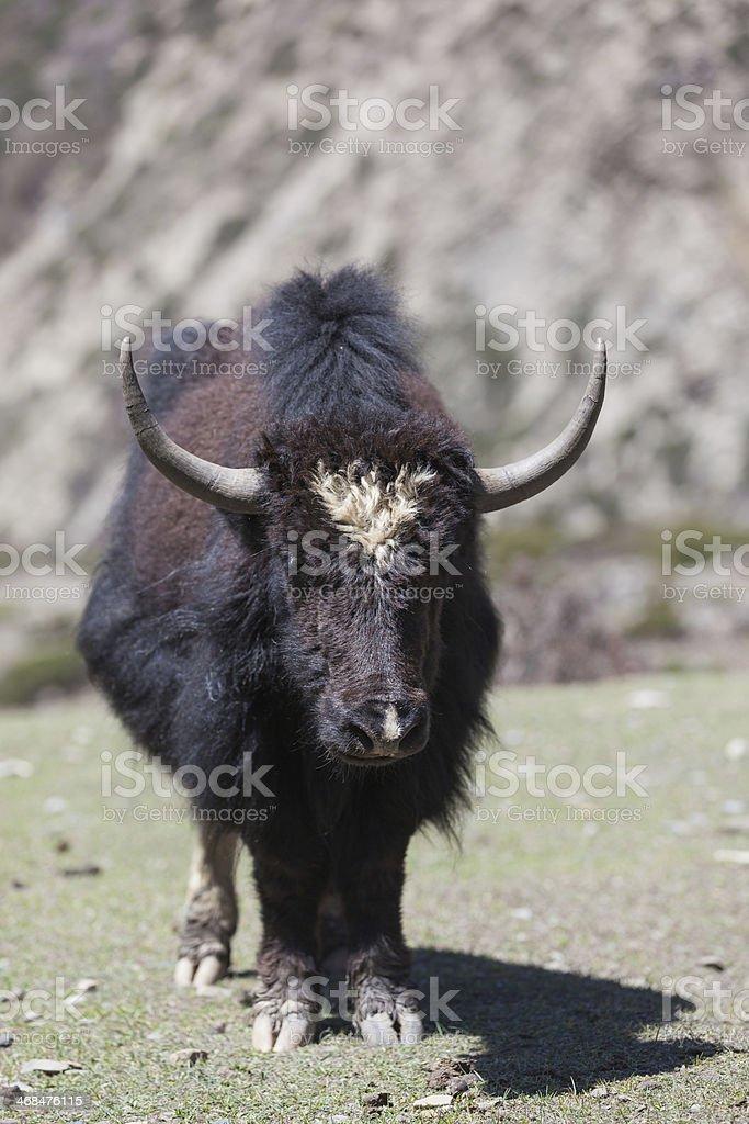 Wild Yak Standing in Annapurnas Region, Nepal royalty-free stock photo