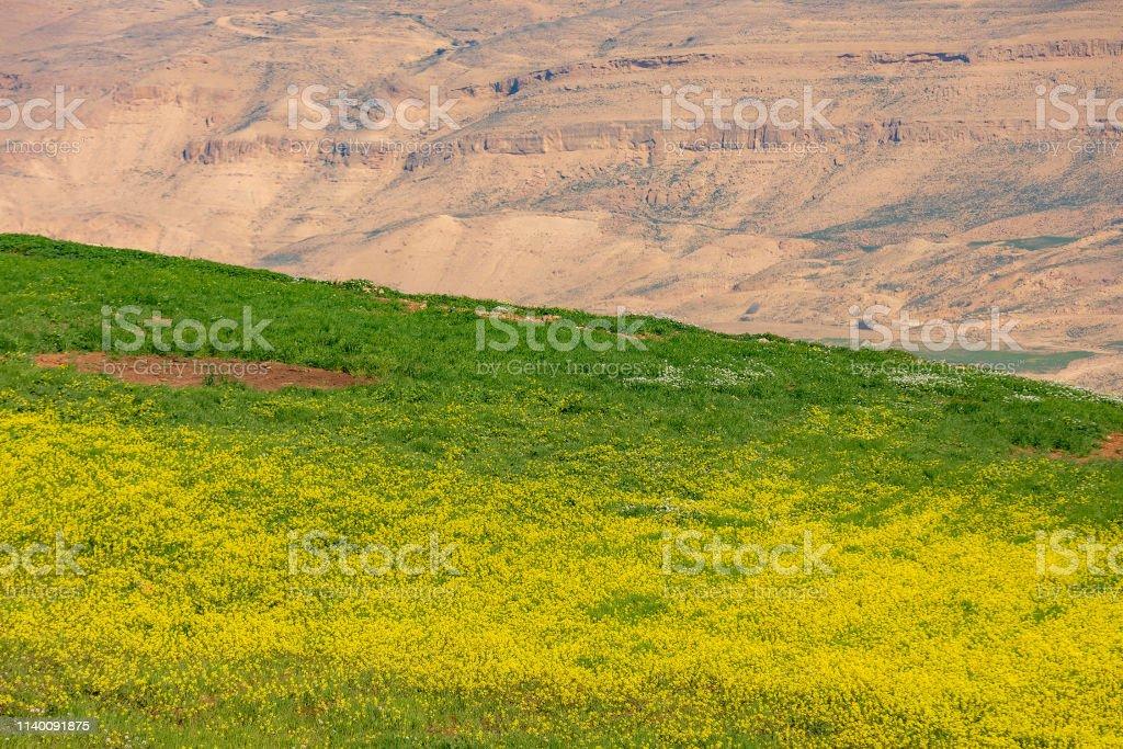 Ürdün 'de dağlarda vahşi sarı ve beyaz çiçekler stok fotoğrafı