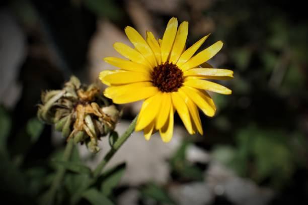 Wild yellow daisy close up stock photo