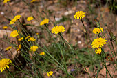 A bunch of wild yellow dandelions on a forest prairie
