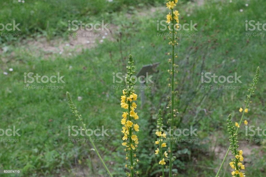 Flor amarela selvagem foto de stock royalty-free