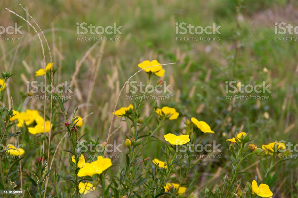 Wild yellow flowers bloom in spring on the green grass of the field wild yellow flowers bloom in spring on the green grass of the field royalty free mightylinksfo