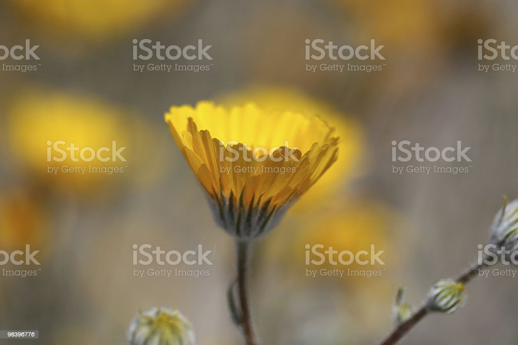 Wild Yellow Sunflower royalty-free stock photo