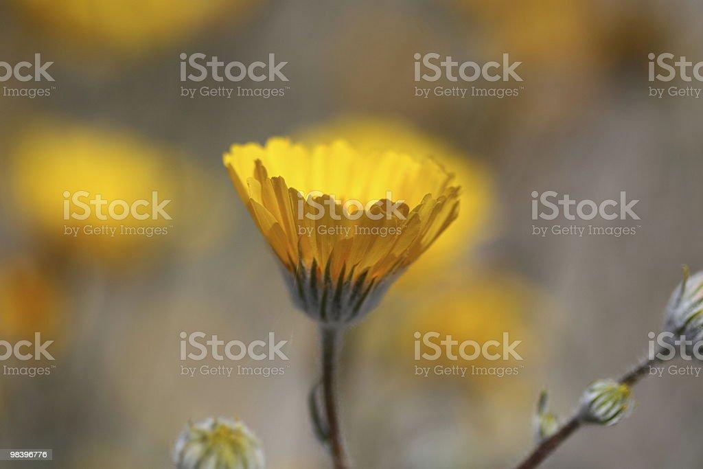 Wild giallo girasole foto stock royalty-free