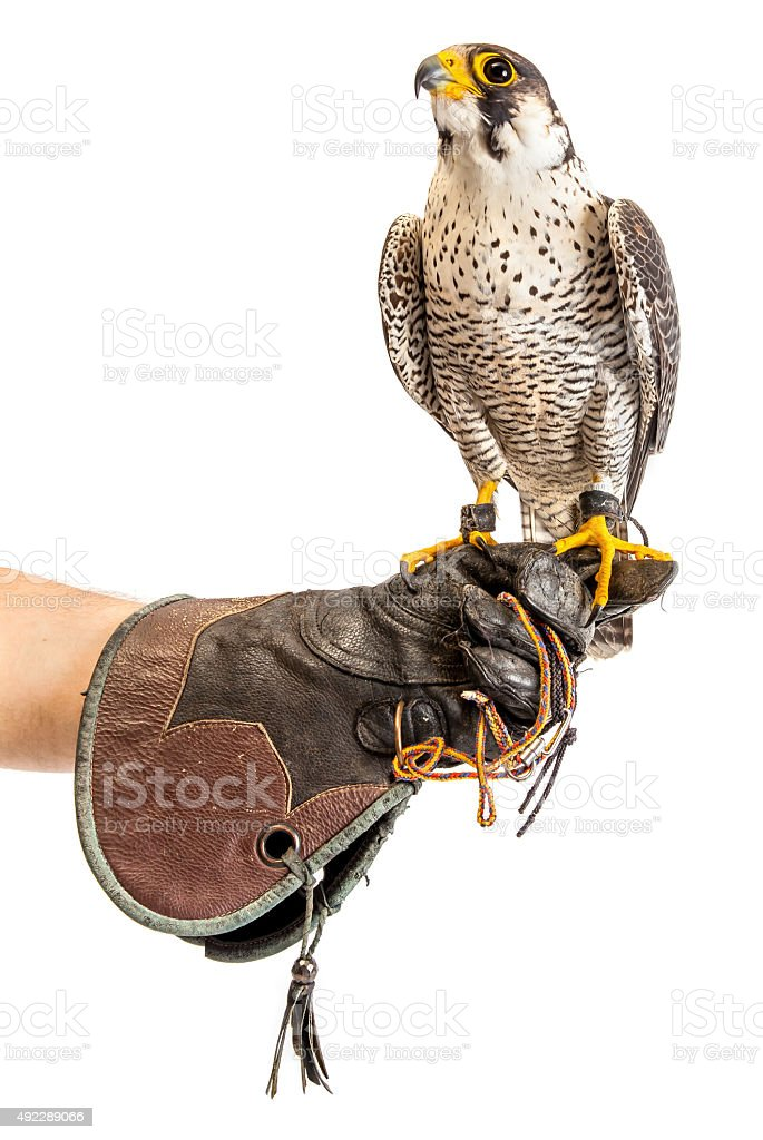 Wild young falcon on trainer glove isolated stock photo