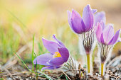 istock Wild Young Pasqueflower In Early Spring.  Flowers Pulsatilla Patens 660513702