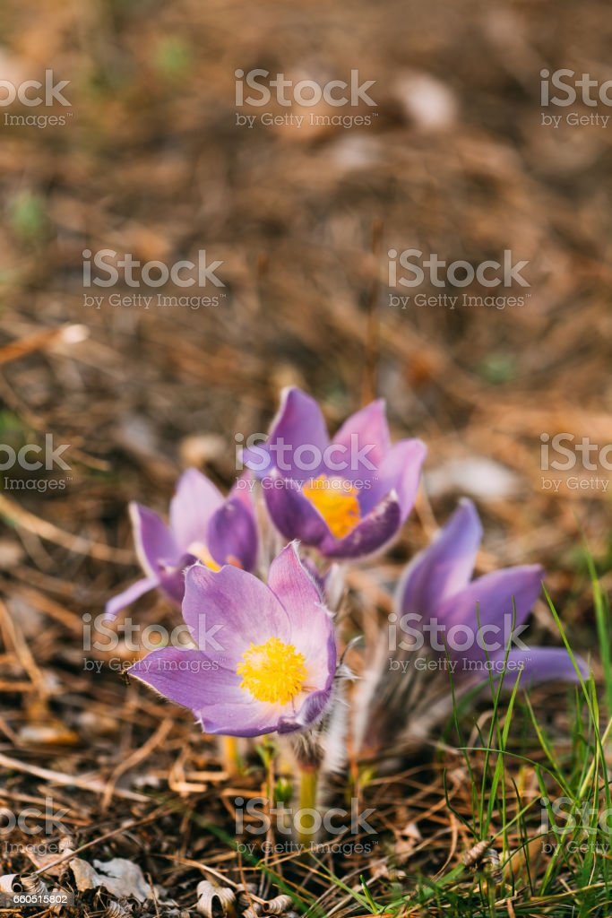 c2436a631b5d Wild Young Pasqueflower In Early Spring. Flowers Pulsatilla Patens  royalty-free stock photo