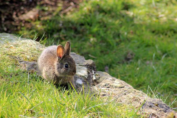 Wild young rabbit, Oryctolagus cuniculus stock photo