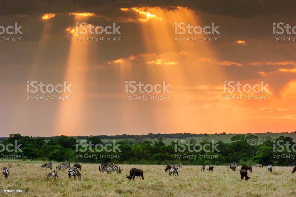 Wild Zebra and Cape Buffalo Grazing on Savannah stock photo