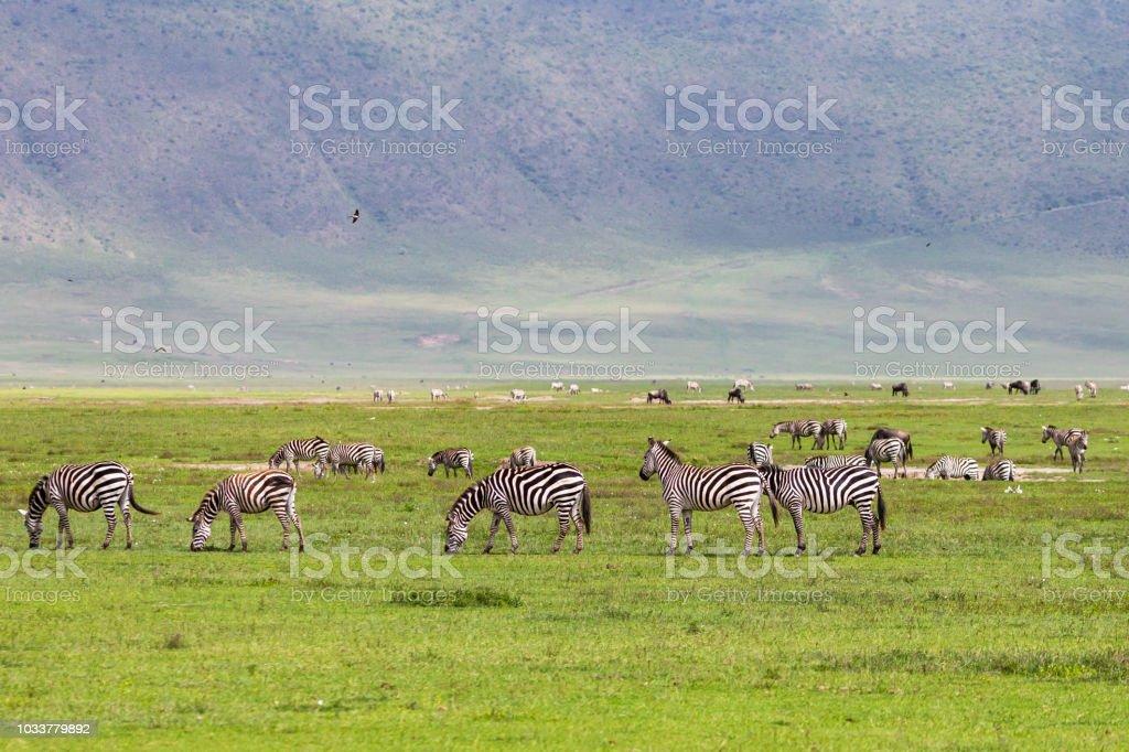 Wild zebra at Ngorongoro Crater Conservation area. Tanzania. stock photo