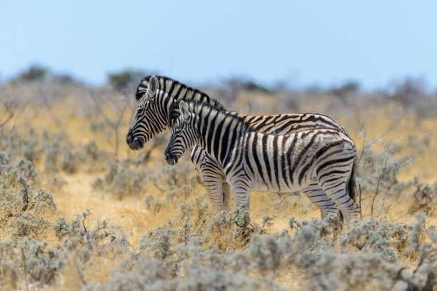 Wild zebra mother with cub walking in the African savanna stock photo