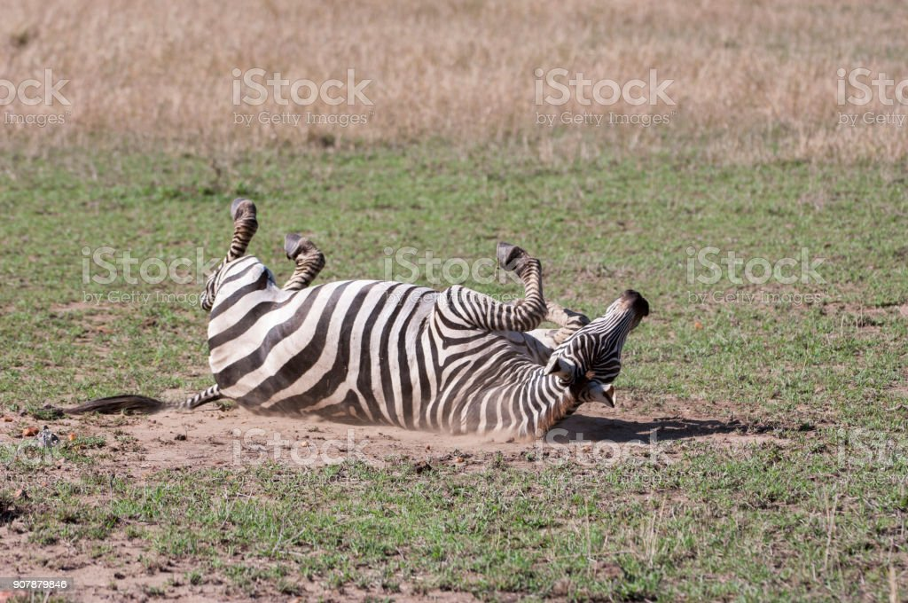Wild Zebra Rolling in Dirt stock photo