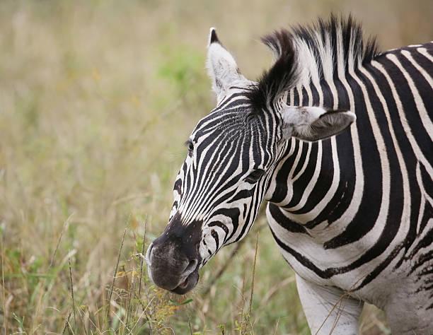 wild zebras im krüger nationalpark, südafrika. - leitner stock-fotos und bilder