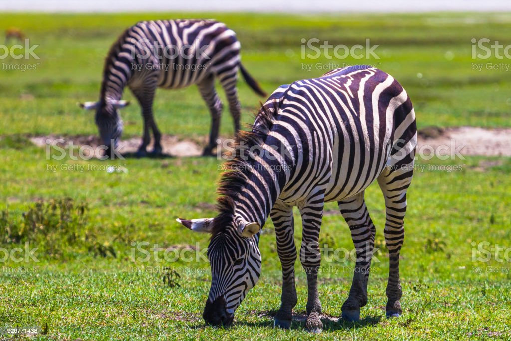Wild zebras in Ngorongoro Crater Conservation area. Tanzania. stock photo