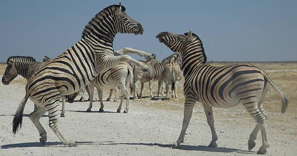 Wild Zebra's stock photo