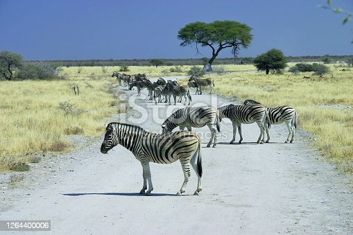 The wavy lines of a zebra are as simple pattern-camouflage, much like the type the military uses in its fatigue design. If a zebra is standing still in matching surroundings, a lion may overlook it completely.