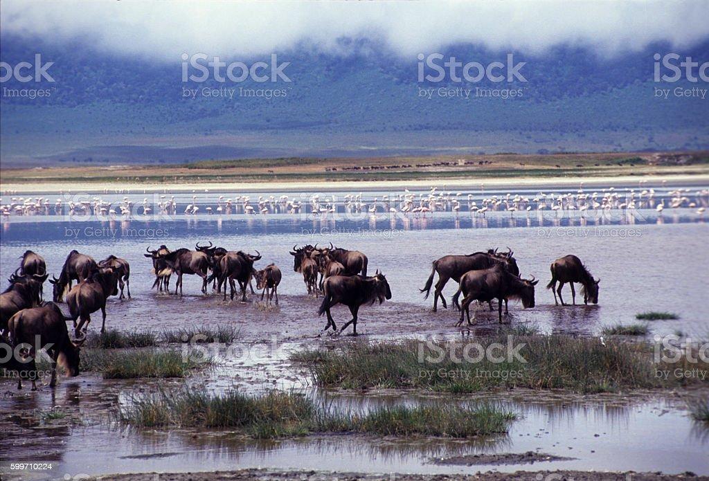 Wildbeast drinking at Lake Magadi, Ngorongoro Crater, Tanzania stock photo