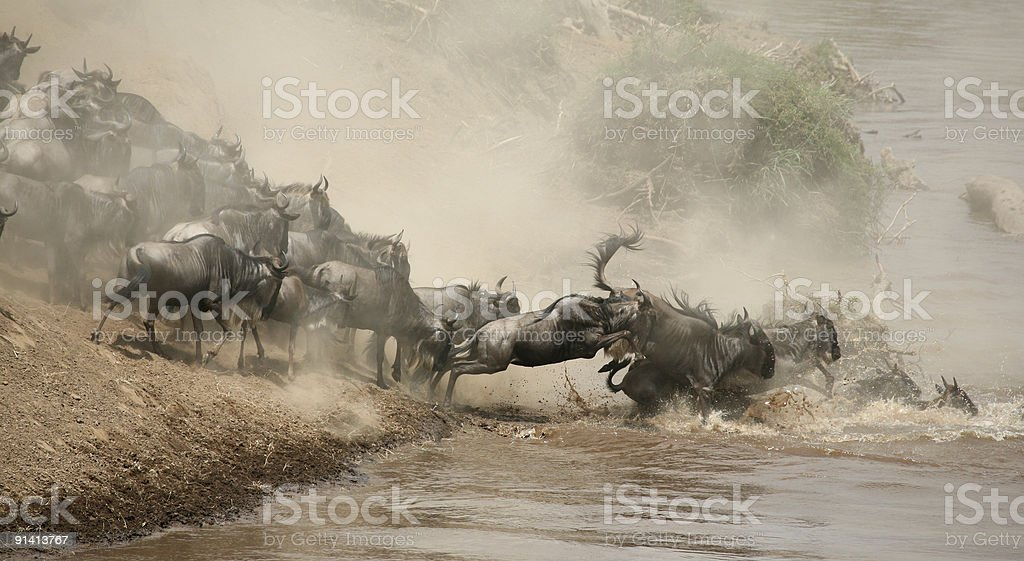 wildbeasts  crossing river Mara, Kenya stock photo