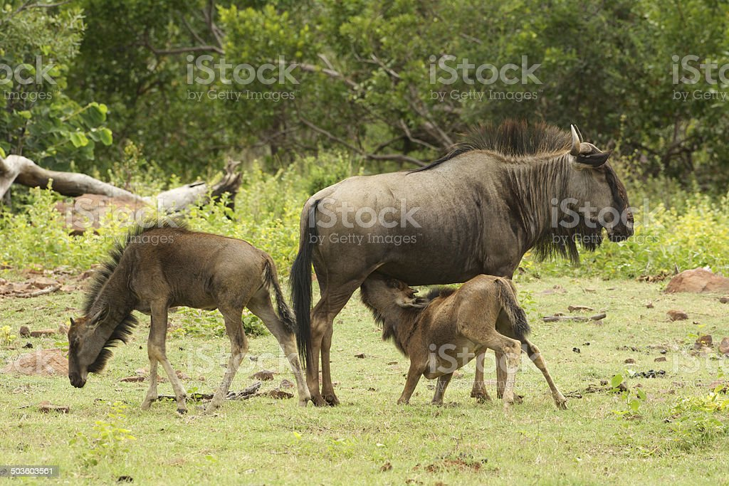 wildbeest mother stock photo