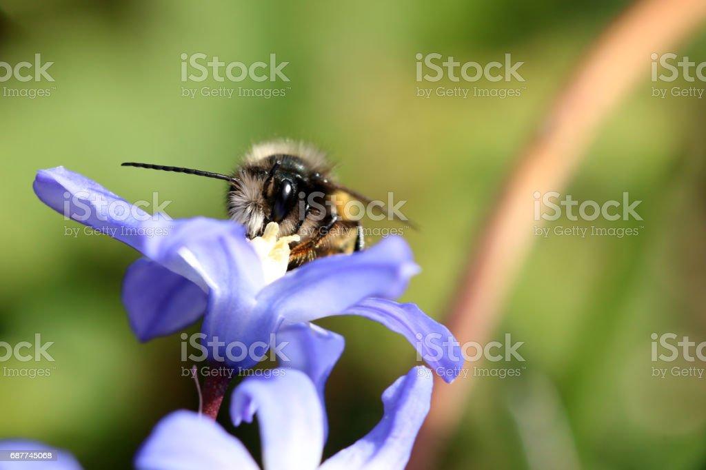 Wildbiene stock photo
