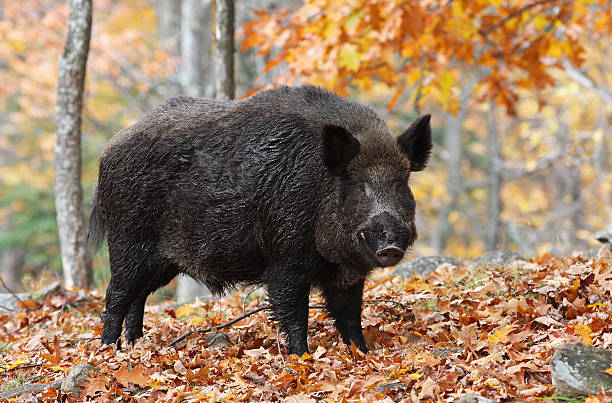 Wild-boar - Photo